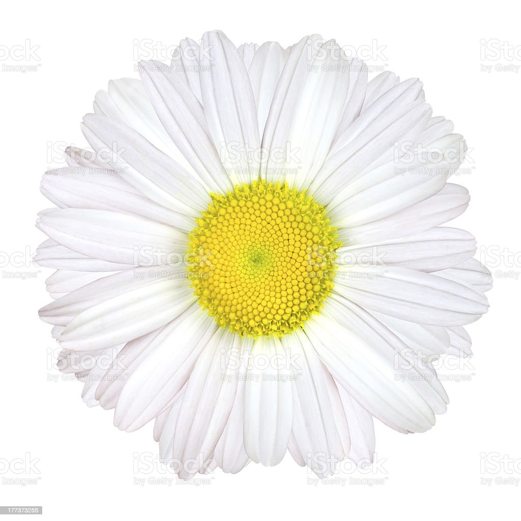 Daisy Flower Isolated - White with Yellow Center royalty-free stock photo