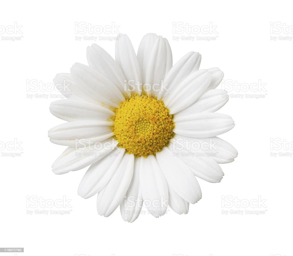 Daisy flower isolated with hand made clipping path stock photo