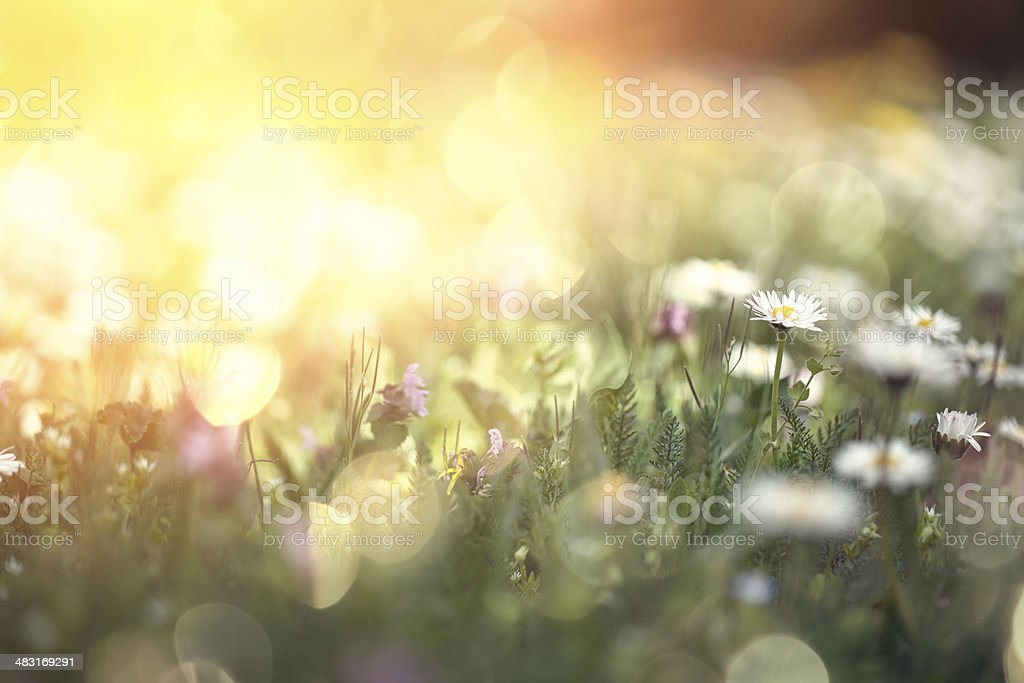 Daisy flower on a field stock photo