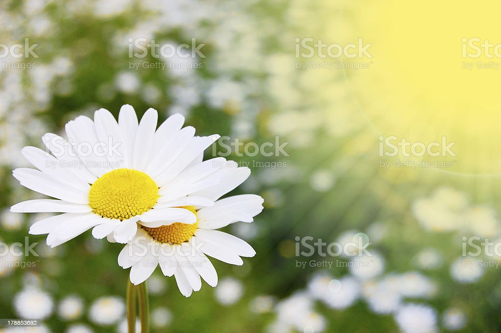 daisy flower on a summer field royalty-free stock photo