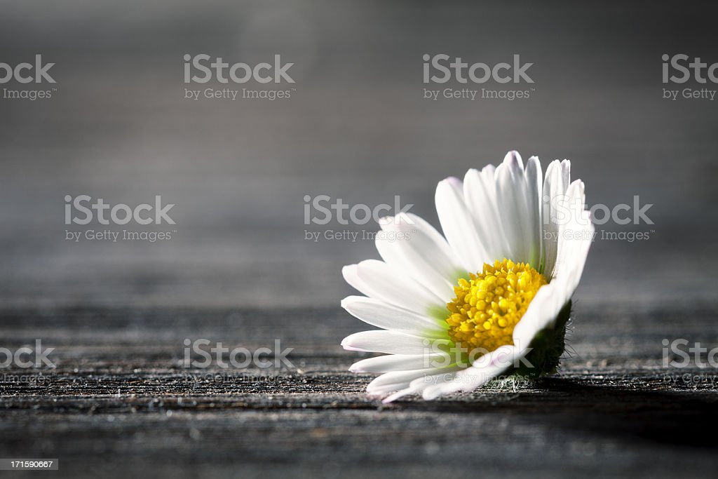 Daisy Flower on old wooden Table - Nature Poem Postcard stock photo