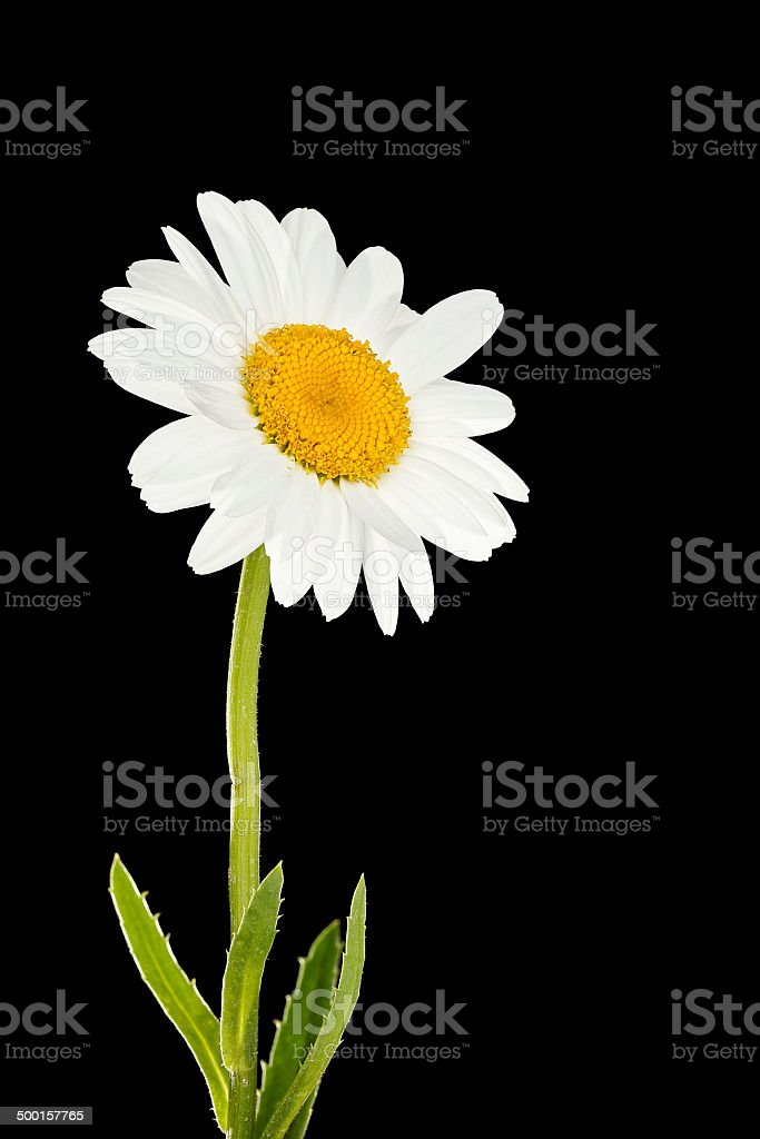 daisy flower stock photo