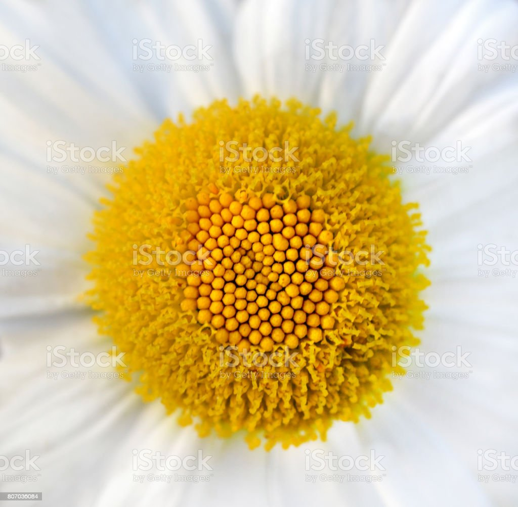 Daisy Flower stock photo