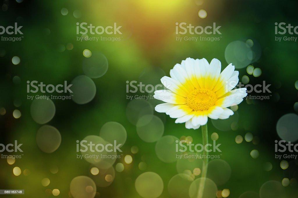 Daisy flower - wild chamomile stock photo