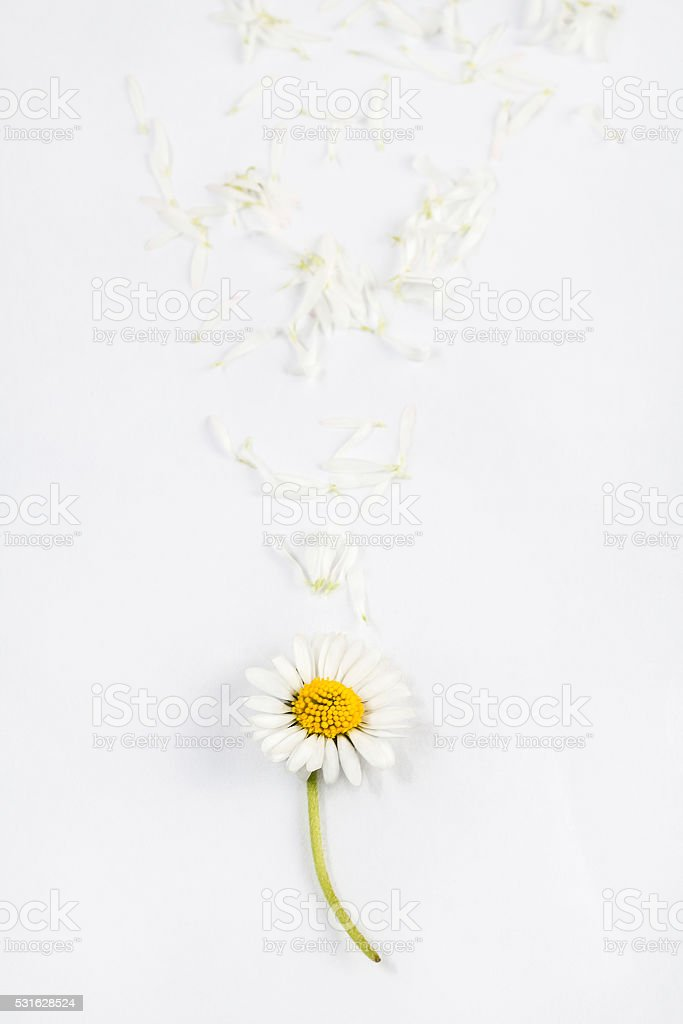 daisy flower with petals on wooden white background stock photo