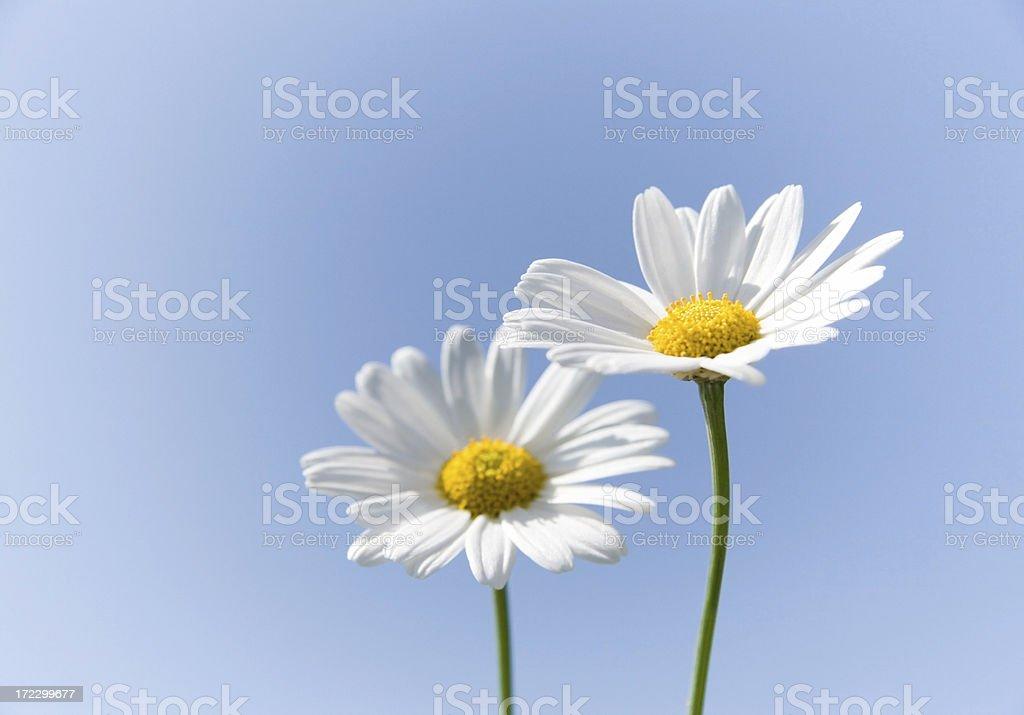 Daisy Flowers and blue sky royalty-free stock photo