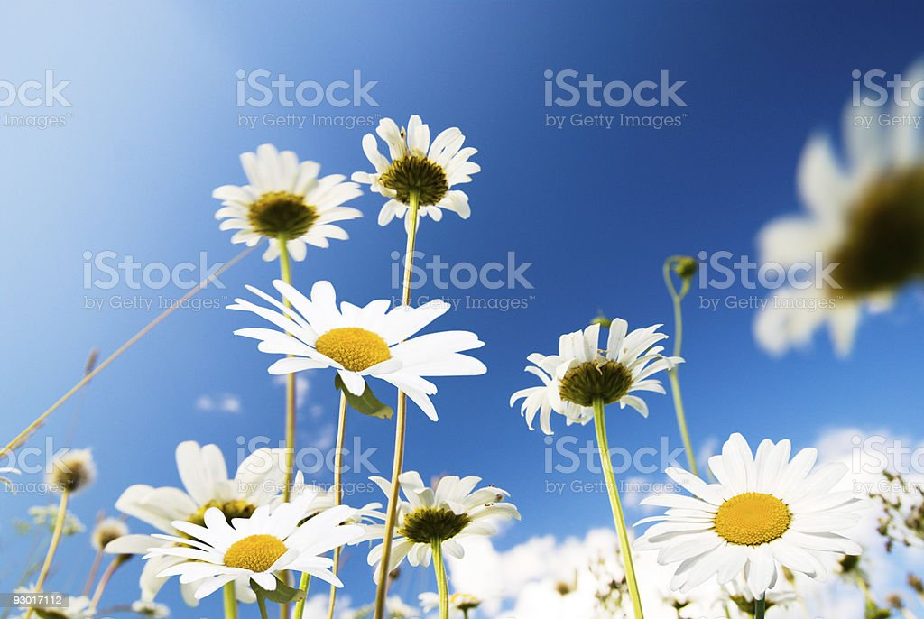 daisy flowers and summer blue sky royalty-free stock photo