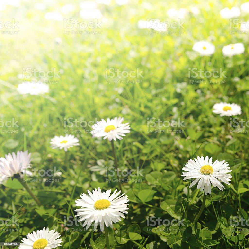 daisy flowers at dusk royalty-free stock photo