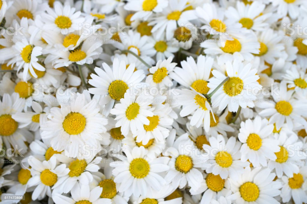 Daisy flowers Background stock photo