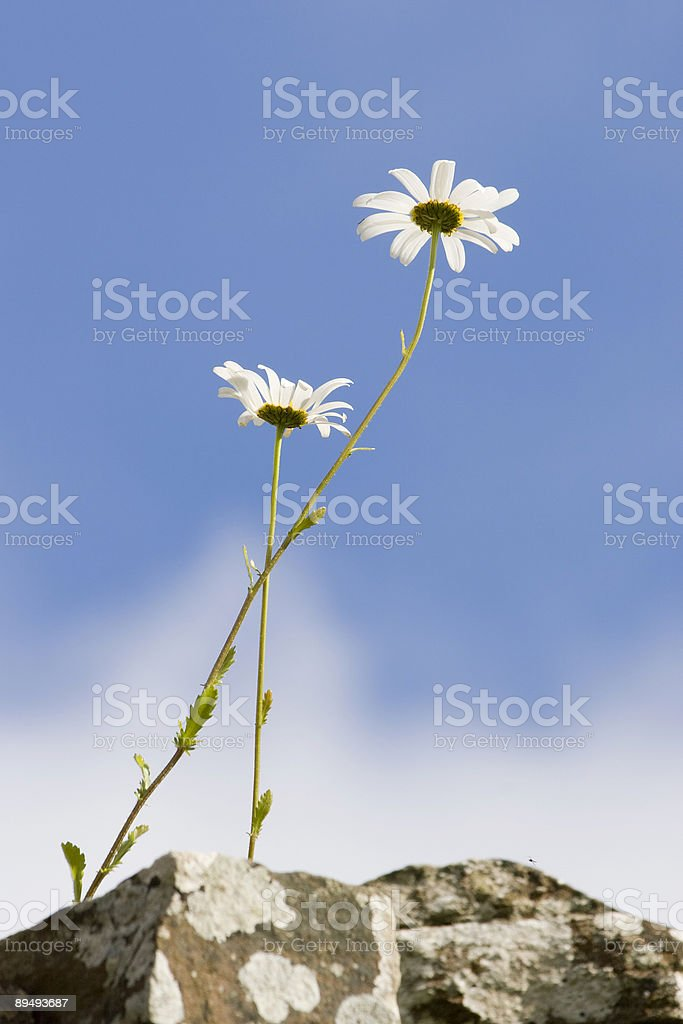 Daisy flowers by bottom side stock photo