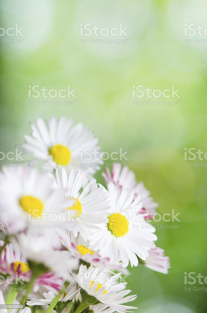 Daisy flowers, close-up. Summer background royalty-free stock photo
