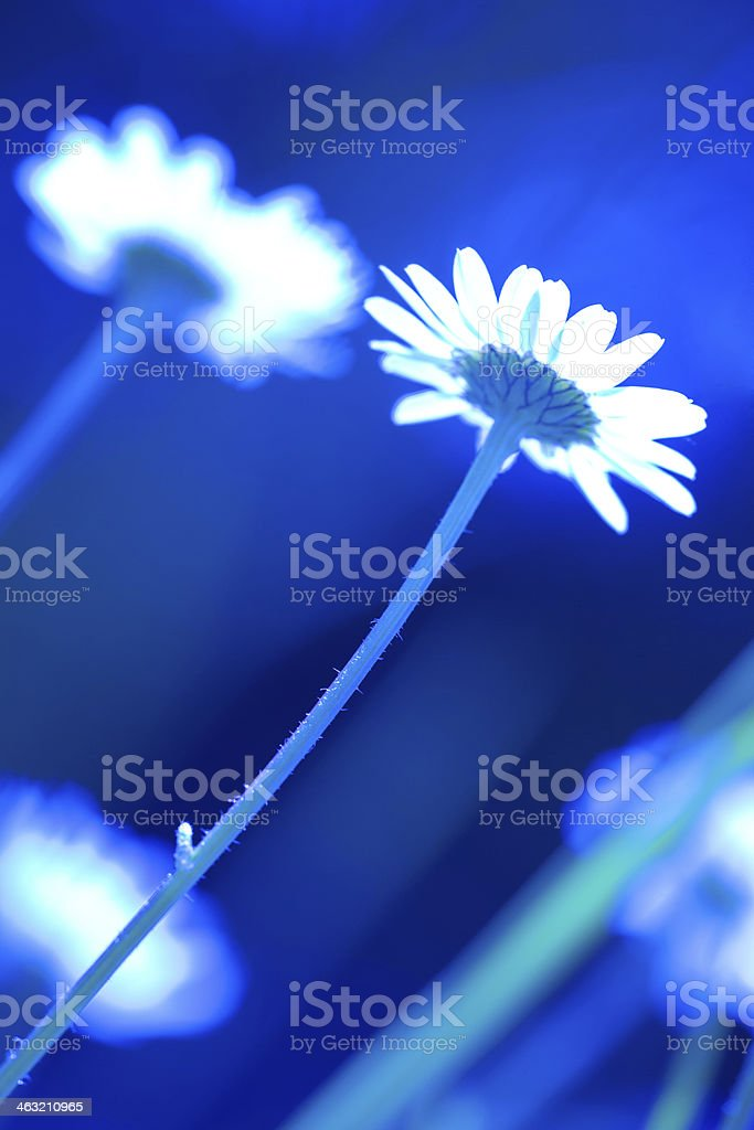 daisy flowers crossprocessed stock photo