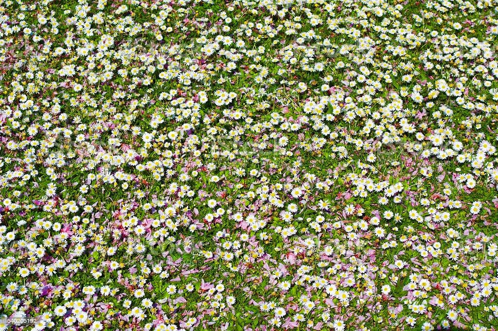 Daisy Flowers in Regents Park stock photo