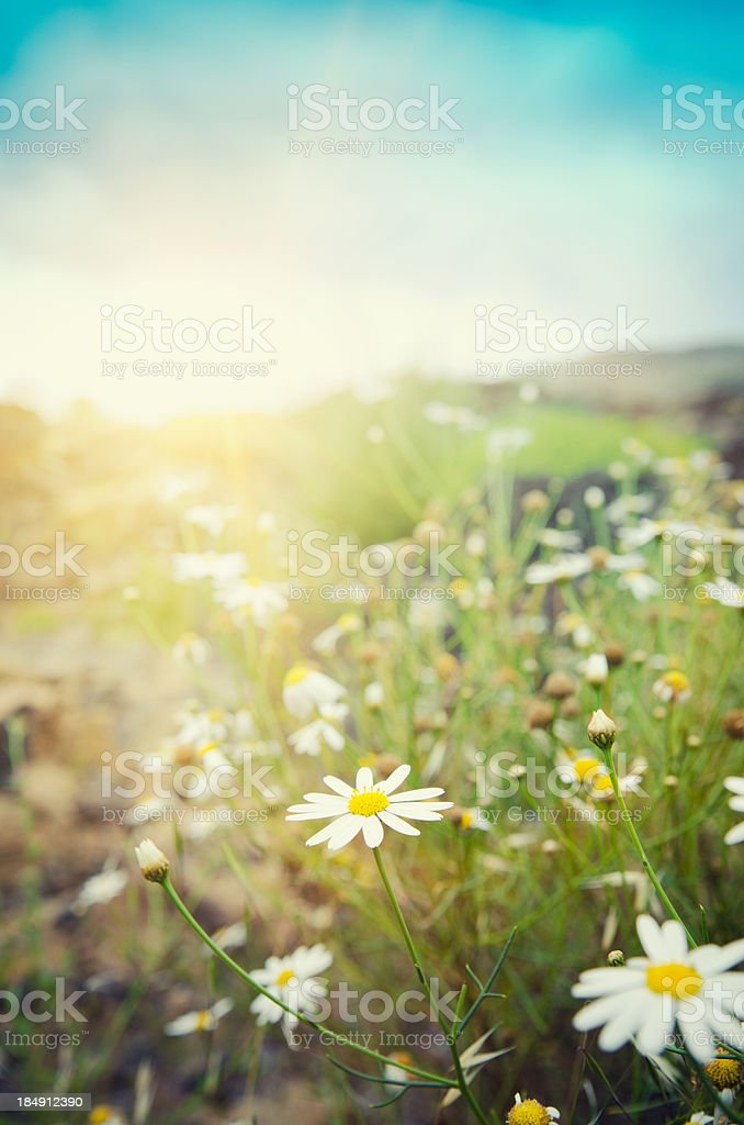 daisy flowers in spring at dusk - Tenerife stock photo
