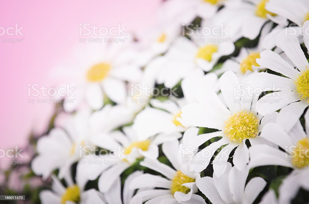 daisy flowers in spring royalty-free stock photo