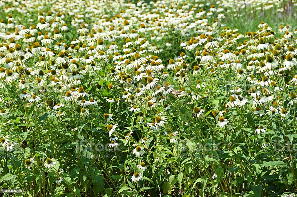 Daisy flowers in the meadow stock photo