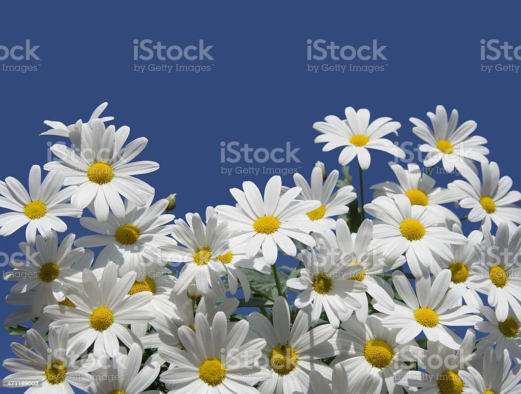 Daisy flowers or marguerite stock photo