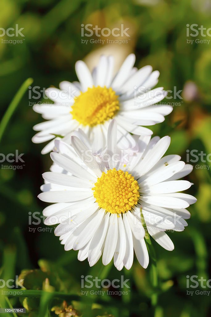 Daisy flowers royalty-free stock photo