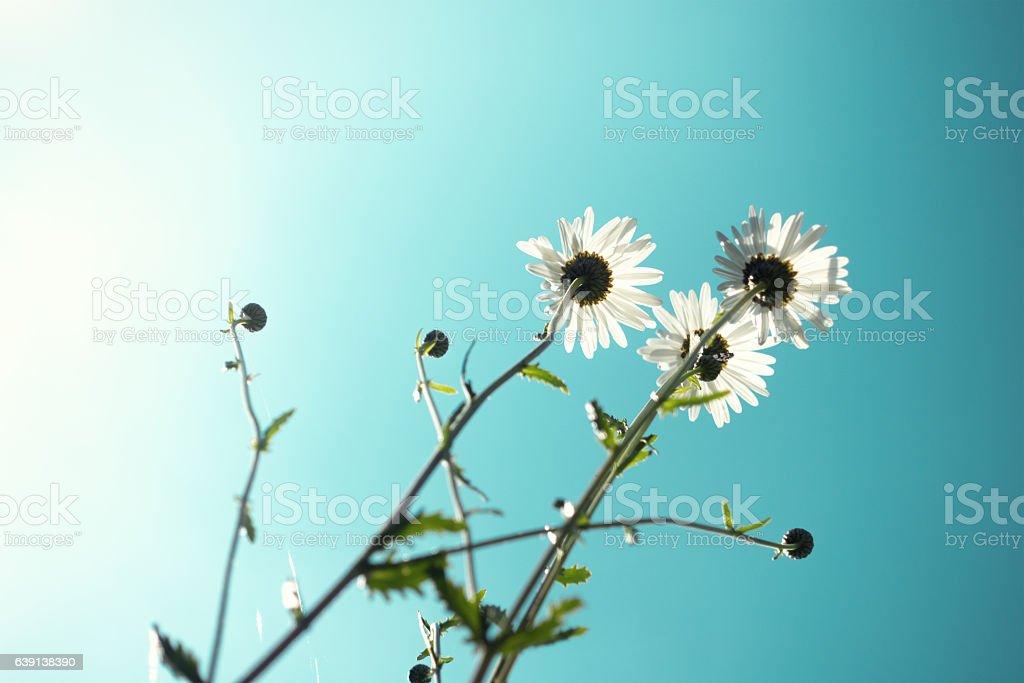 Daisy Flowers stock photo