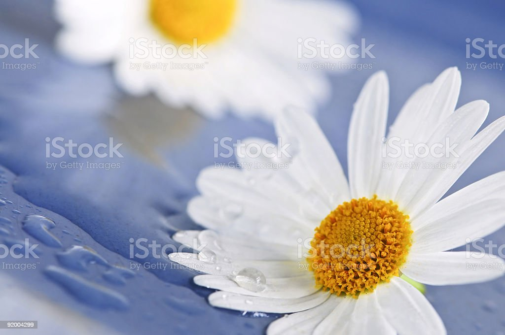 Daisy flowers with water drops royalty-free stock photo