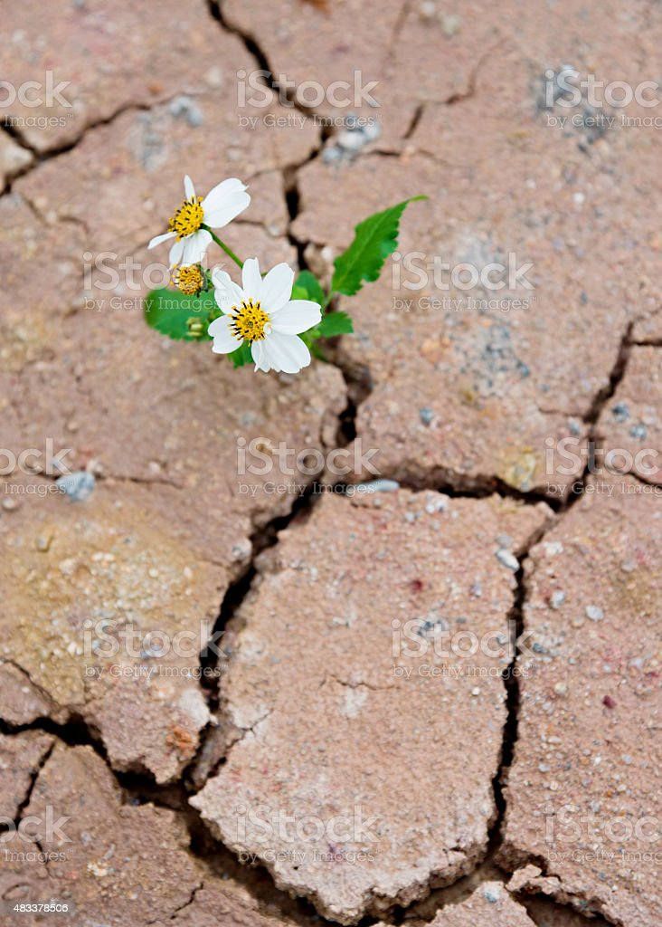 daisy growing from dry cracked earth stock photo