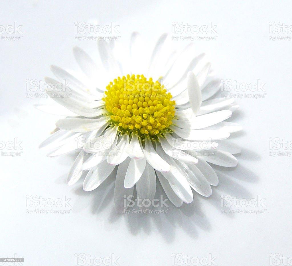 daisy head royalty-free stock photo