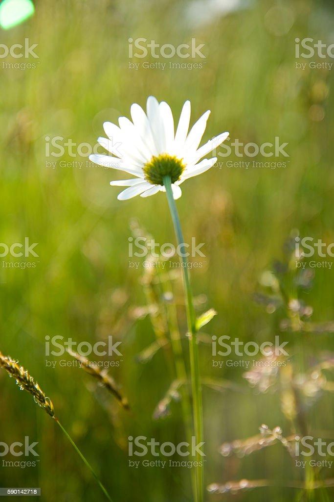 Daisy In A Field royalty-free stock photo