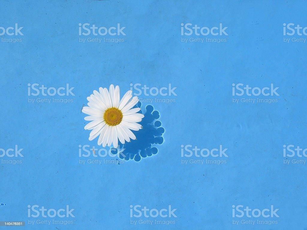 daisy en swimmingpool foto de stock libre de derechos