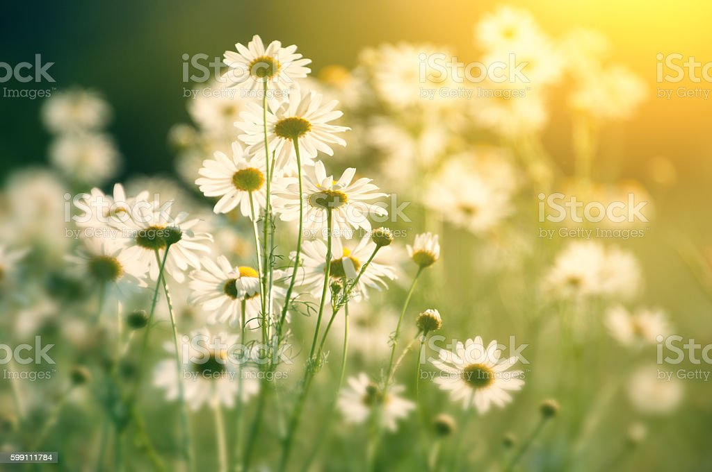 daisy in field in sunlight - looking into the sun stock photo
