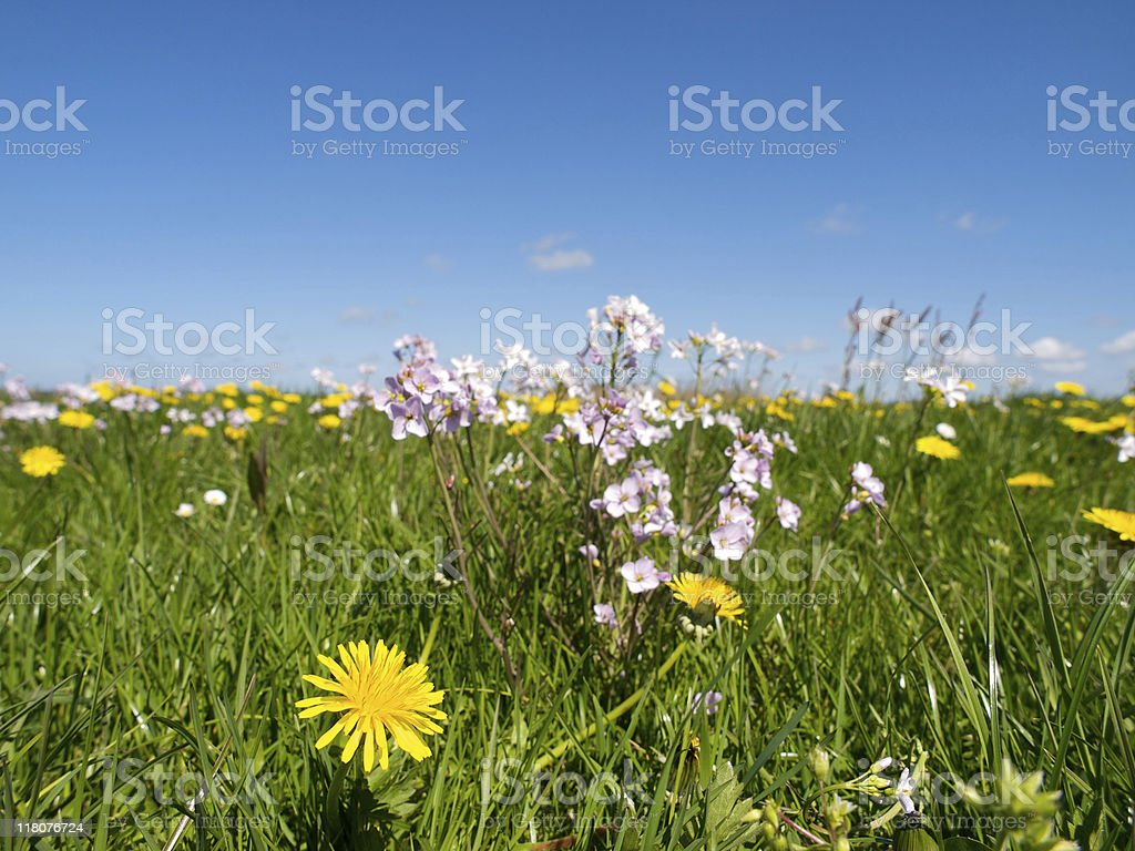 Daisy in meadow royalty-free stock photo