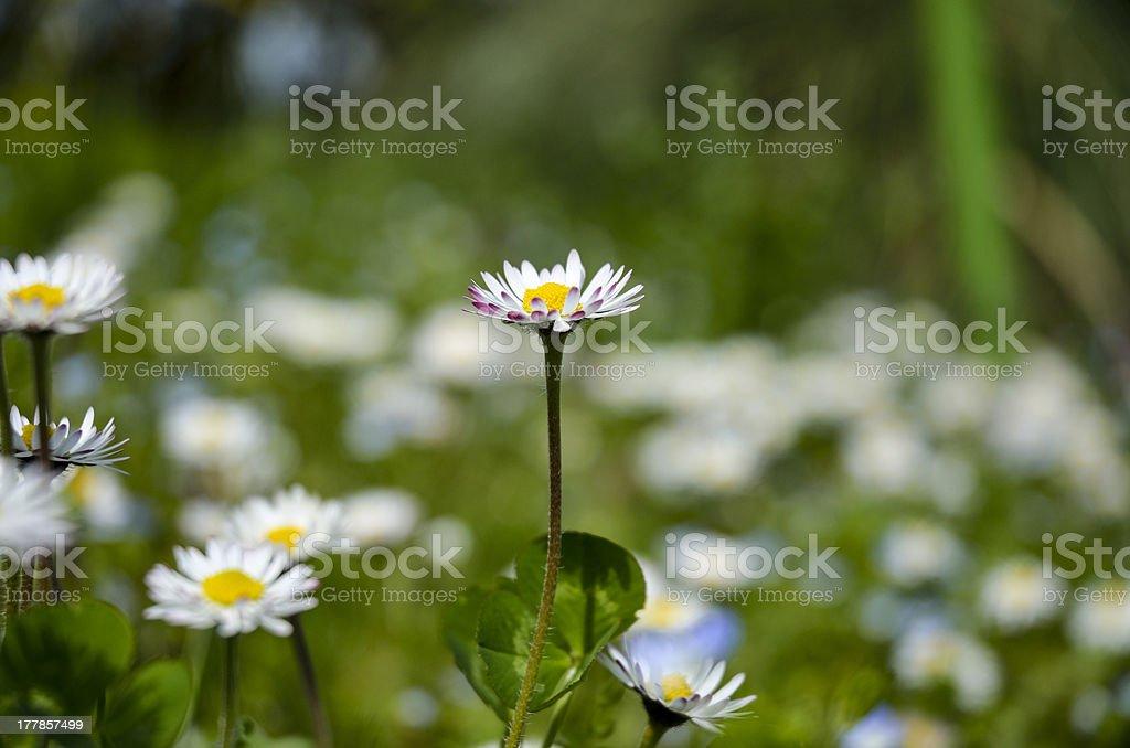 daisy in my garden stock photo