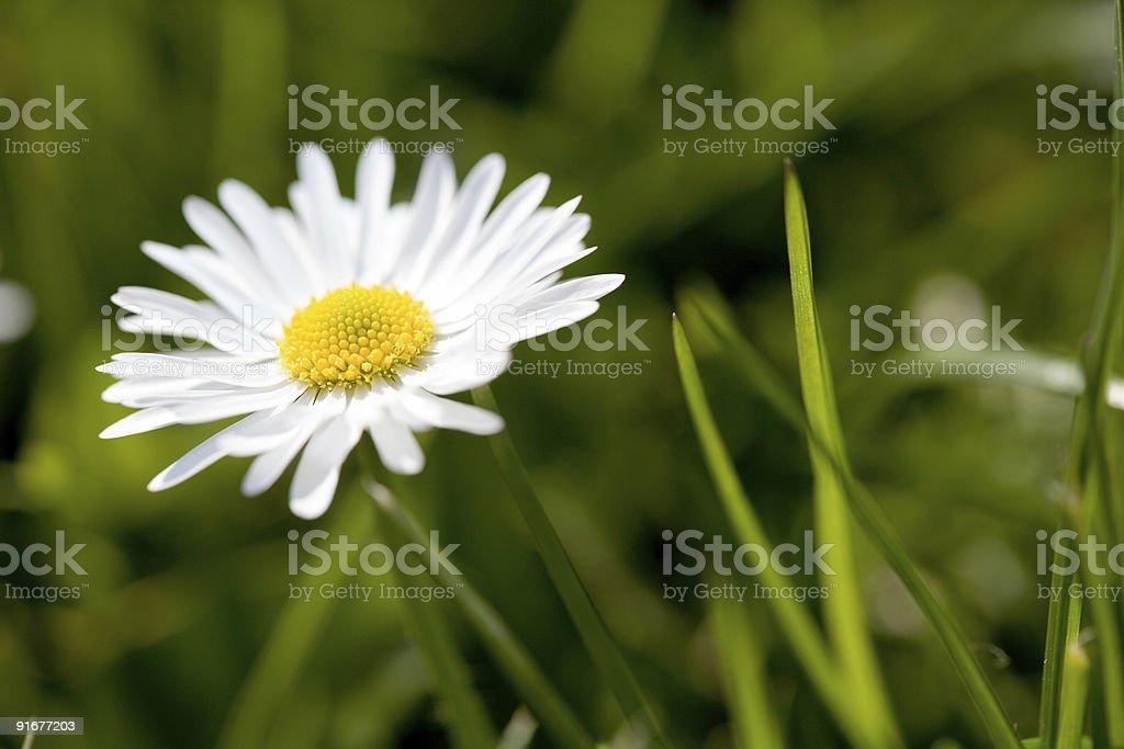 Daisy in spring stock photo