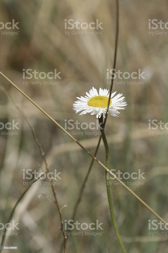 Daisy in the desert royalty-free stock photo