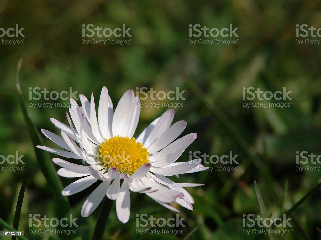 Daisy in the field royalty-free stock photo