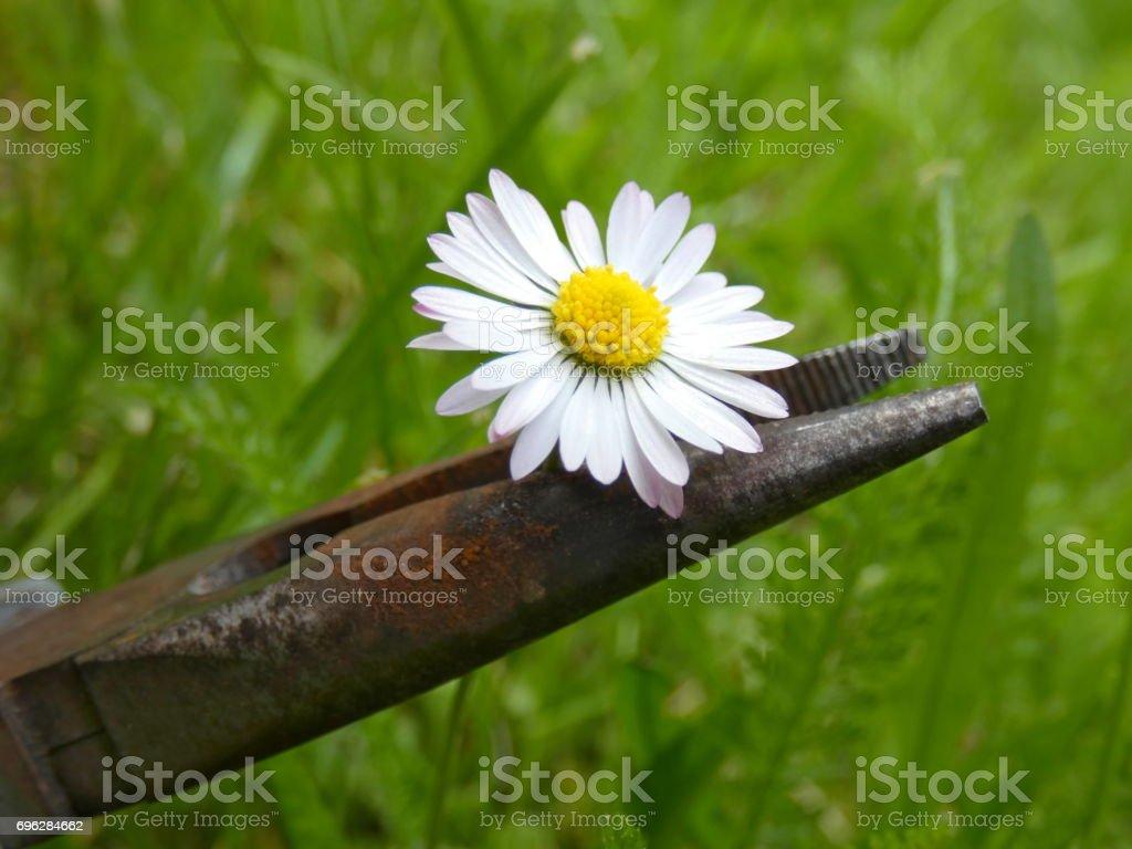 Daisy (Bellis Perennis) Innocence stock photo