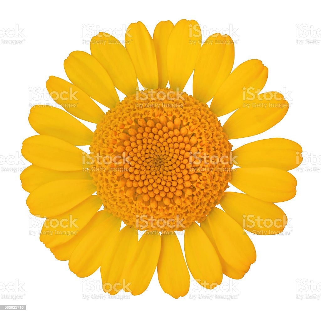 Daisy isolated - inclusive clipping path stock photo