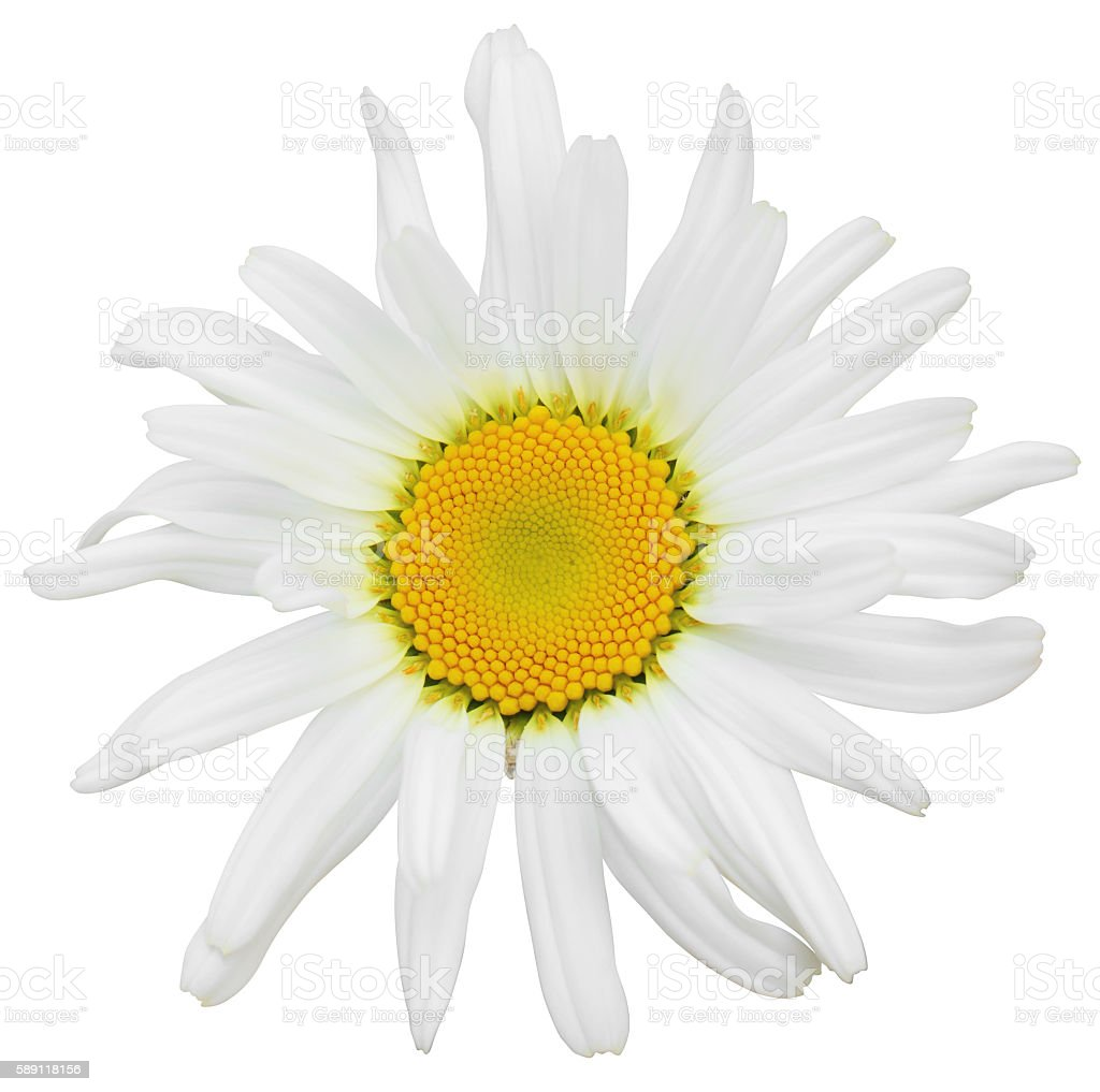 Daisy isolated inclusive clipping path stock photo