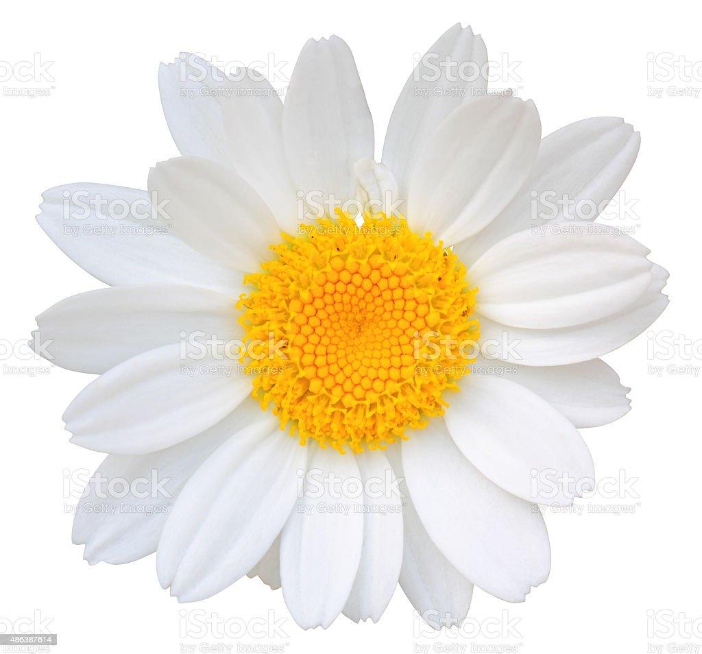 Daisy isolated on white background. stock photo