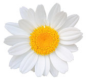 Daisy isolated on white background.