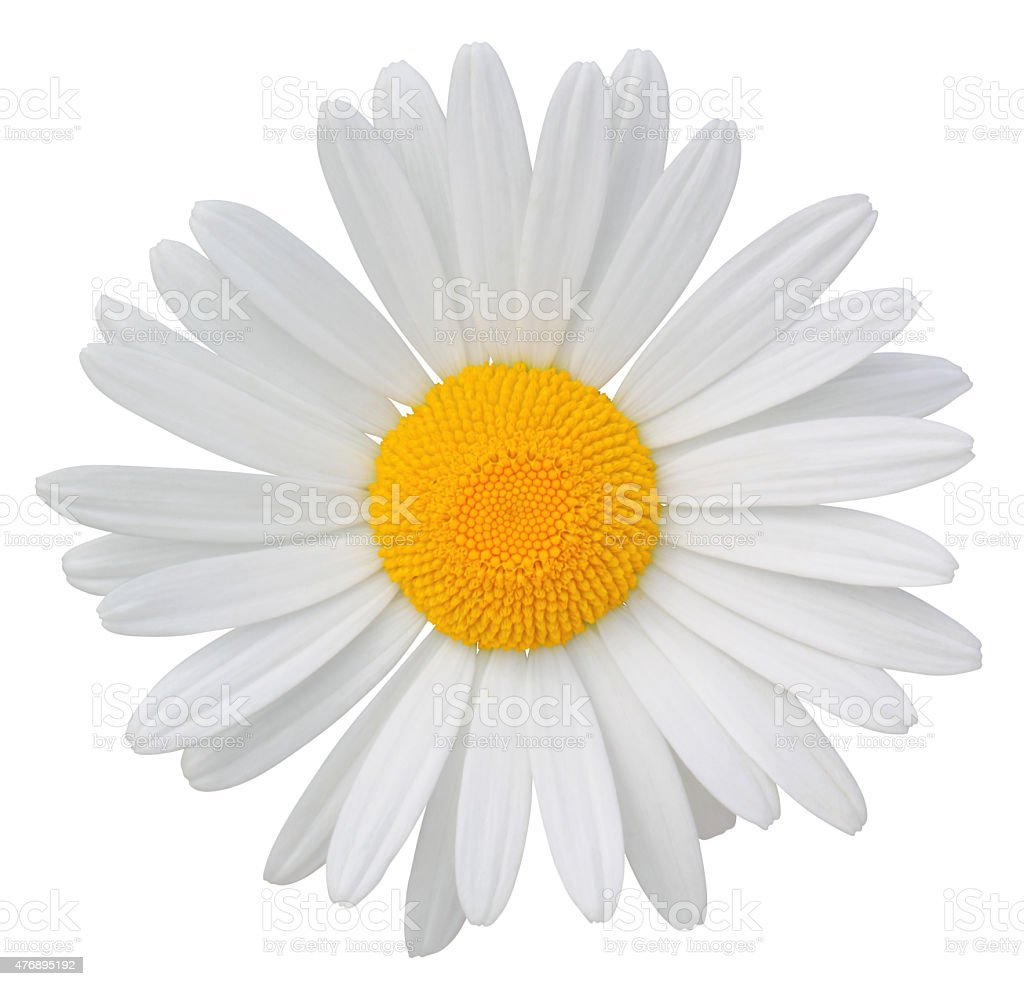 Daisy isolated on white background. With clipping path included. stock photo