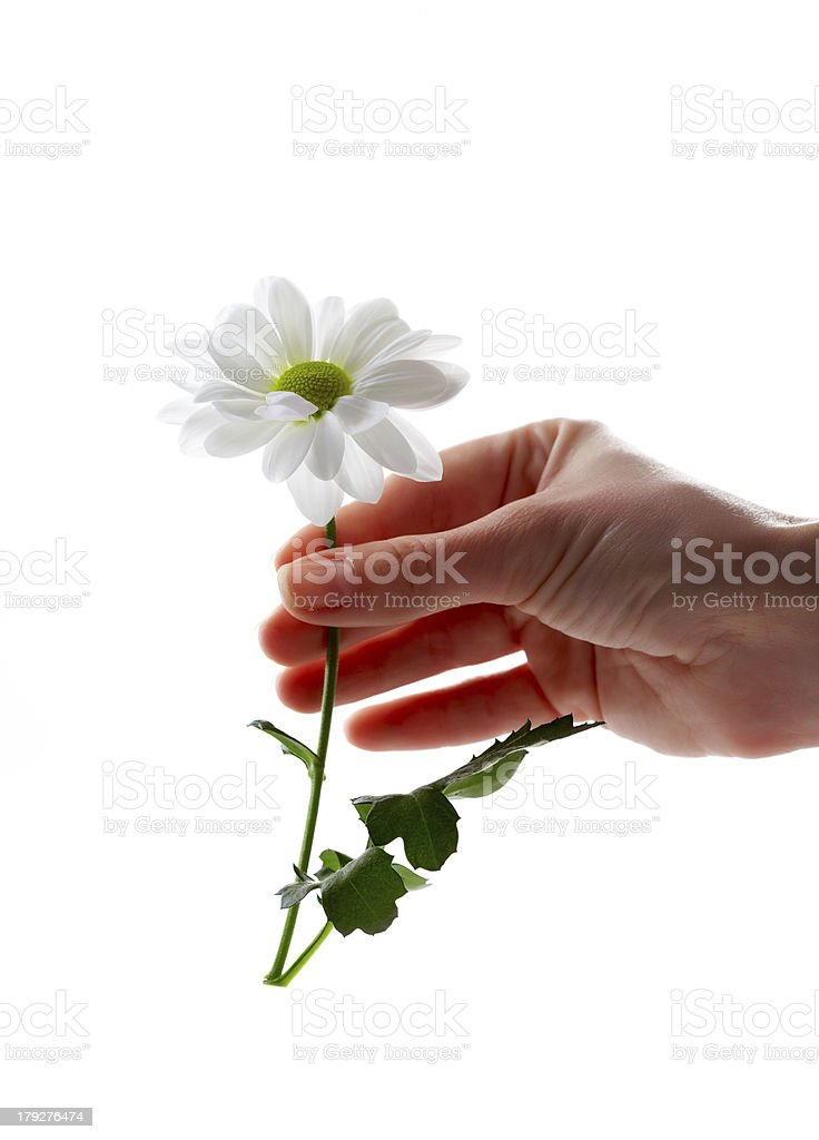 Daisy Isolated royalty-free stock photo