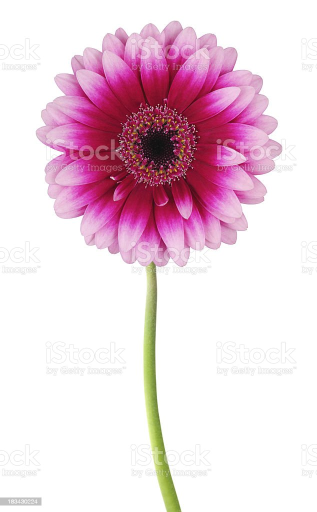 Daisy isolated stock photo