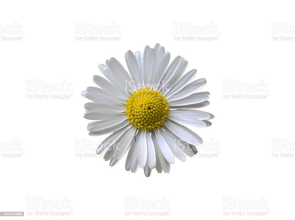 Daisy (Bellis Perennis) Isolated stock photo