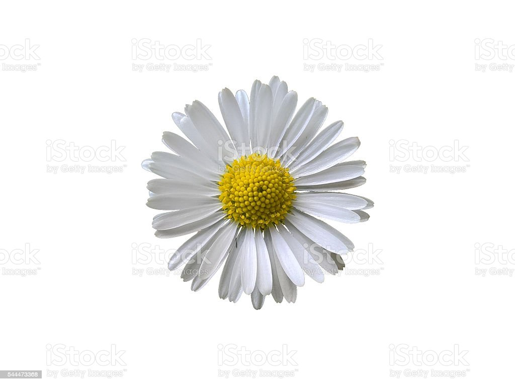 Daisy (Bellis Perennis) Isolated stock photo