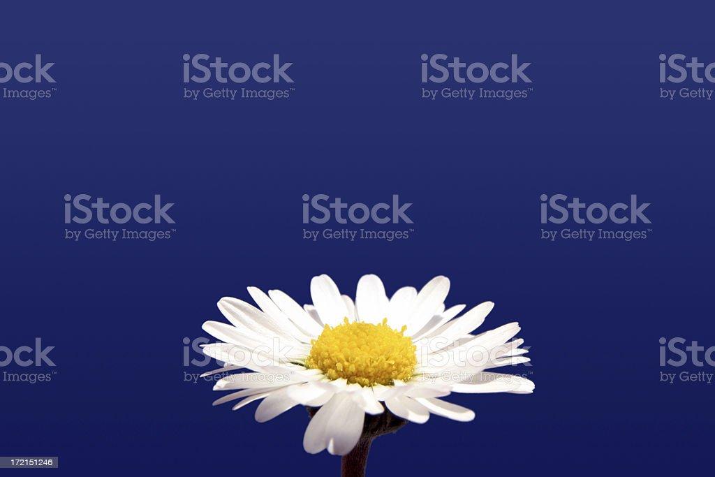 Daisy landing pad royalty-free stock photo