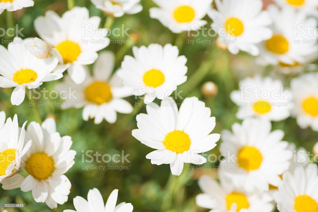daisy Margariten stock photo