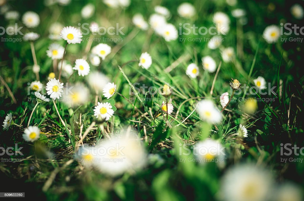 Daisy Meadow Background stock photo