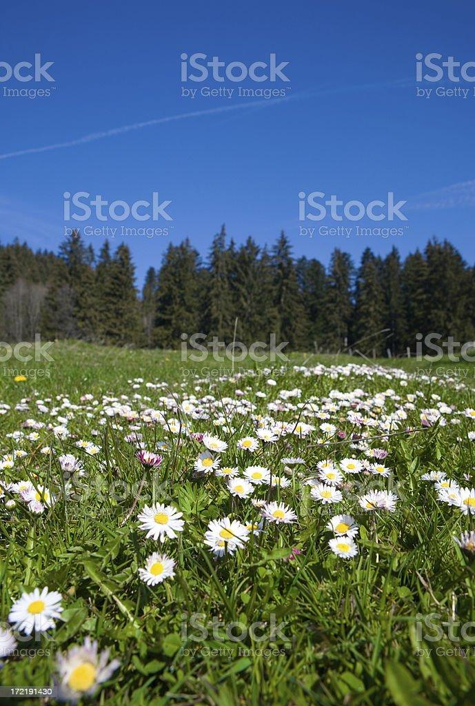 daisy meadow royalty-free stock photo