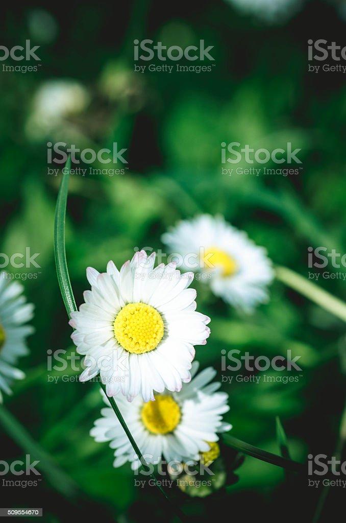 Daisy on a Meadow stock photo