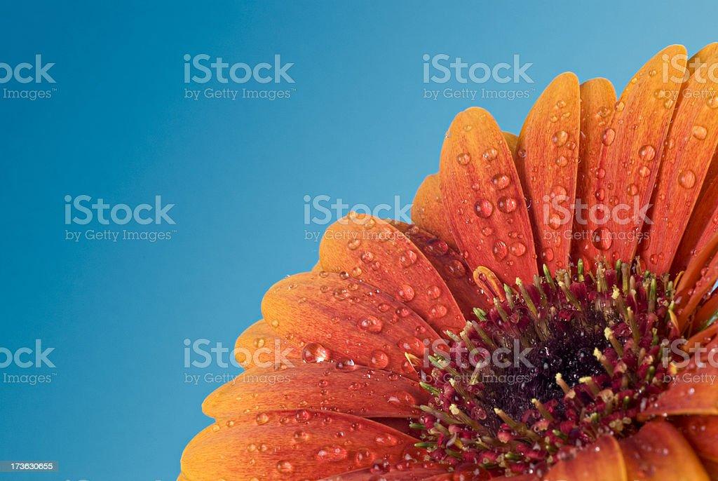 Daisy on blue royalty-free stock photo